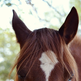 by Silke Jordaan - Novices Only Pets ( natural light, pony, horse, ears, brown, cute,  )