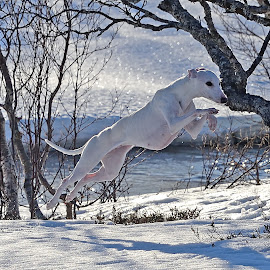 Whippet by Marius Birkeland - Animals - Dogs Running ( jumping, snow, dog, running, whippet,  )