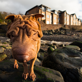 em by Michael Sweeney - Animals - Dogs Portraits ( sharpei, dog 14mm nikon .d800 )