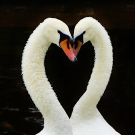 Love is in the Air by Tim Clifton - Animals Birds