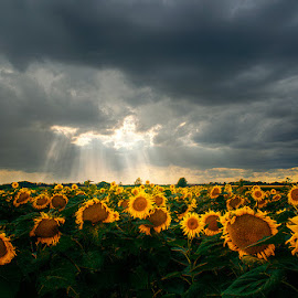 Glory IV. by Zsolt Zsigmond - Landscapes Prairies, Meadows & Fields ( clouds, sky, hdr, sunrays, summer, sunflower, storm, Hope )