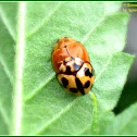 Variable Ladybird Beetles (Mating)