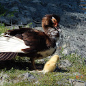 Muscovy Duck - Domestic