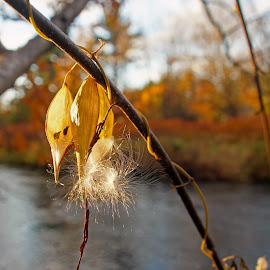 October Opening by Mark Mynott - Nature Up Close Other plants ( water, fall lightt, seed pod, husks, vines, autumn, trees, river )