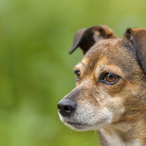 Always on the lookout by Jack Brittain - Animals - Dogs Portraits ( canada, katie, pet, trail, ontario, morning, dog, walk, animal, oshawa,  )
