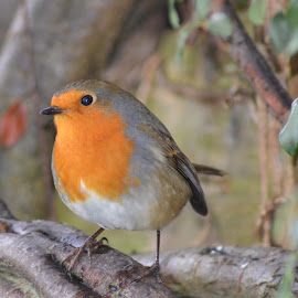 Garden Robin photo, cropped. by Roddy Scott - Animals Birds ( robin, garden birds, bird pictures, bird photos, bird photography )