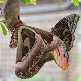 Atlas & Friend by David Todd - Animals Insects & Spiders ( passenger, atlas moth, butterfly, snake head, butterfy, blue morpho, animal )