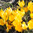 Dutch Yellow - Yellow Mammoth Crocus