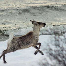 Caribou by Amy Bundenthal Johnson - Animals Other Mammals