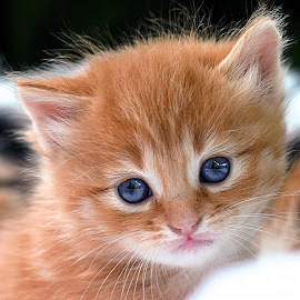 Few Weeks Old by John Phielix - Animals - Cats Kittens ( tiny, cat, kitten, young, portrait,  )