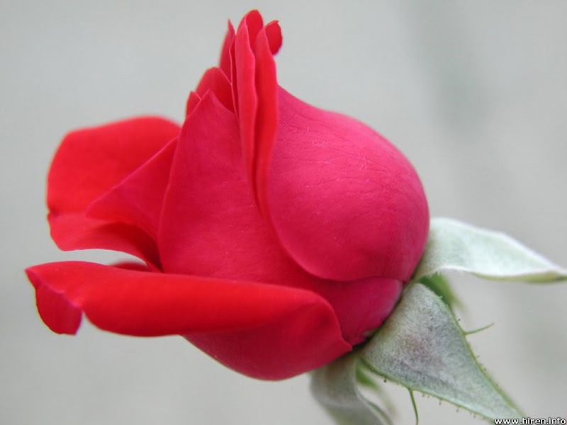 http://lh6.ggpht.com/maracaprio/SJo5AoGVXXI/AAAAAAAABRA/CBmd2Ijm7cI/s800/superb-red-rose-5a.jpg