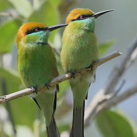 by S Balaji - Animals Birds ( wild, s.balaji, animals, style, nature, green bee-eaters, birds )