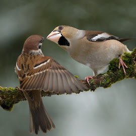 Give me a kiss by Dragomir Taborin - Animals Birds