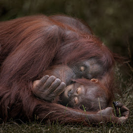Unconditional by Aya de Ruiter - Animals Other Mammals ( mensaap, orangutan, apenheul, oran oetan, monkey )