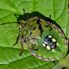 Southern Green Stink Bug Nymph