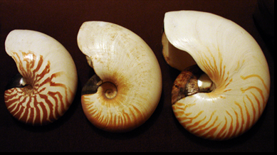 Nautilus_species_shells