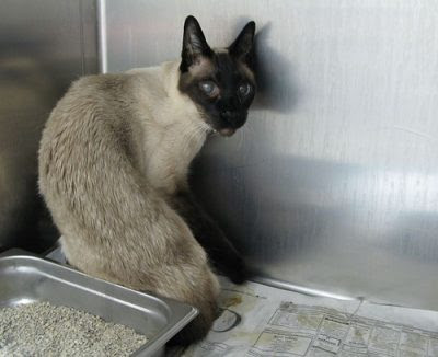 Siamese cat in a shelter