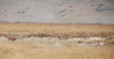 Cheetah chasing Thompson's gazelle