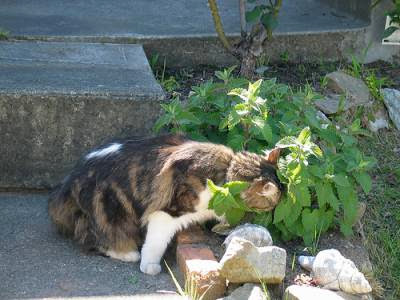 catnip growing