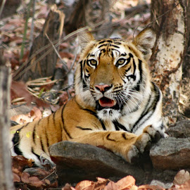 It was my first day on SLR way back on 18th April 2007 at Bandhavgarh National Park..This one is among the first ten shots i have clicked in auto mode. by Somesh Agrawal - Animals Lions, Tigers & Big Cats