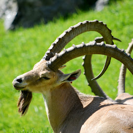 The beautiful curves of nature by Leslie-Ann Boisselle - Novices Only Wildlife ( wild, horns, green, goat, animal )