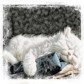 by Bente Agerup - Animals - Cats Kittens ( cats, pets, kittens, animales, snow white )