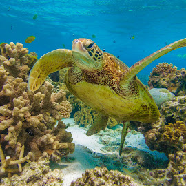 Green Turtle Underwater by Colin Davis - Landscapes Underwater ( coral, green turtle, turtle )