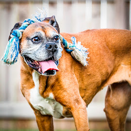 Now Where Is That Rope? by Shawn Klawitter - Animals - Dogs Playing ( playing, pet, boxer, toys, dog, animal )