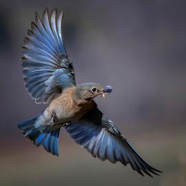 Nesting Bluebird 3 by James Harrison - Animals Birds ( bluebirds, nature, wildlife, birds, mountain bluebirds,  )