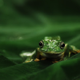 mengintip by Fahri Mood-e - Animals Amphibians ( animals, macro, macro photography, frog, amphibian,  )
