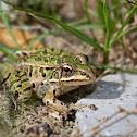 Northern Leopard Frog