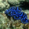 Blue Maxima clam (small giant clam)