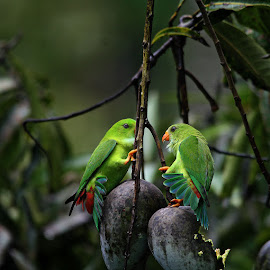 The faceoff by Anoop Asranna - Animals Birds ( hanging parrot, western ghats, vernal hanging parrot, coorg )