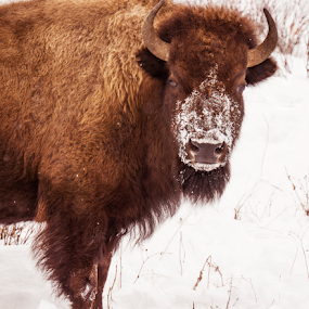 Been snorting snow by Steve Outing - Animals Other Mammals ( mammals, animals, national park, yellowstone, cold, grazing, bison, snow, snout, fur,  )