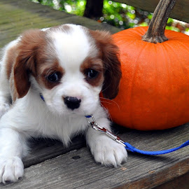 Puppykins by Terry Niec - Animals - Dogs Puppies ( pumpkin, puppy, baby, cute, king charles cavalier,  )