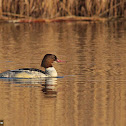 Common Merganser (Goosander) - Female