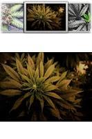 Screenshot of Weed HD Wallpaper!