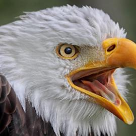 Eagle Call by Michael Milfeit - Animals Birds ( haliaeetus leucocephalus, eagle, bird of prey, american eagle, weisskopfseeadler, raubvogel, adler )