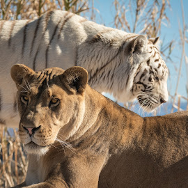 African Lioness and Bengal Tiger by Joe Neely - Animals Lions, Tigers & Big Cats ( lion, white bengal tiger, african lioness and bengal tiger, tiger, lioness )