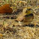 Horned Lark juveniles