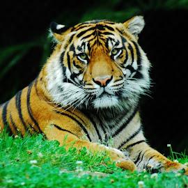 Tiger  by Alex Biebl - Animals Lions, Tigers & Big Cats ( wild, cat, tiger, tigers, animal,  )