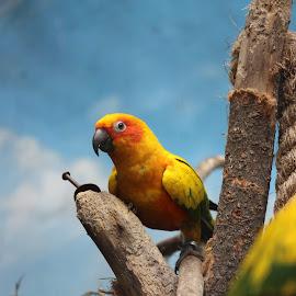 Parot by Rudi Botha - Animals Birds ( park, nature, wildlife, birds, bird photography, blue, orange. color,  )