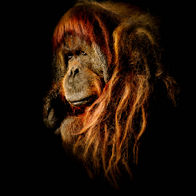 by Libin Michael - Animals Other Mammals ( orange, ape, human ape, portrait, monkey )