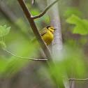 Hooded Warbler