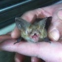 Lesser long eared bat