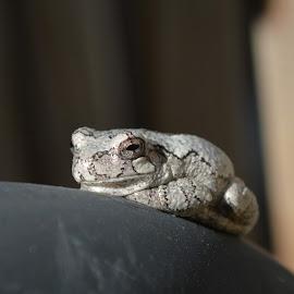 Sun Bathing by Suzanne Strittmatter - Animals Amphibians ( frog, tree frog )