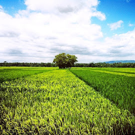 Rice Field...  by Brutus Wangs - Instagram & Mobile iPhone