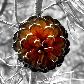 Lone Pinecone by June Morris - Nature Up Close Trees & Bushes ( pinecone, nature, bushes, trees, photography, up, close )