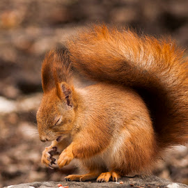 sleepy squirrel by Ivány Richárd - Animals Other Mammals