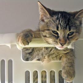 Cute Kitten by Sylvia Musing - Animals - Cats Kittens ( cat, kitten, cat in basket, basket, chat, chaton, animal )